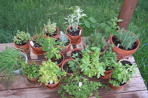 пряные травы вашего сада