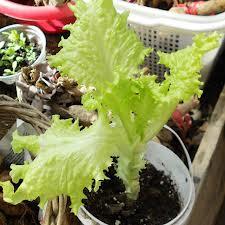 выращивание салата на подоконние дома