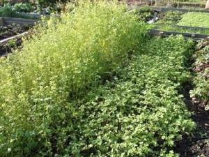 сидераты помогают оздоровить и удобрить землю на садовом участке
